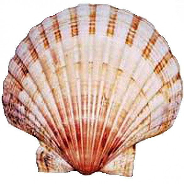 Scallop Shell Symbol Of St James Die Welt Der Habsburger
